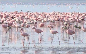 Flamingos - Lake Nakuru